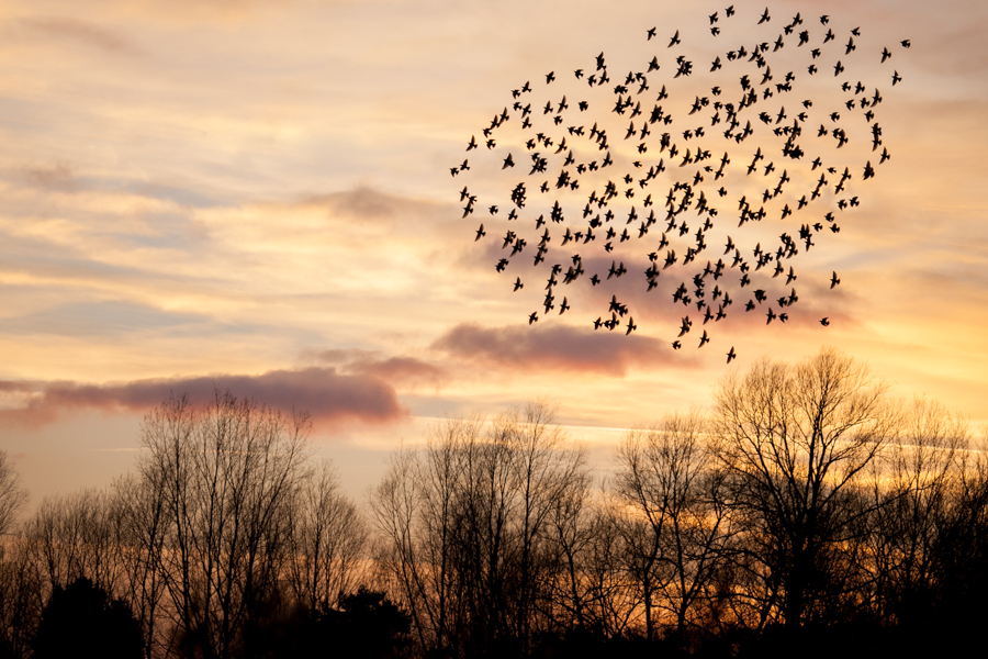 cossingtom-meadow-starlings-impactvisuals-1-2